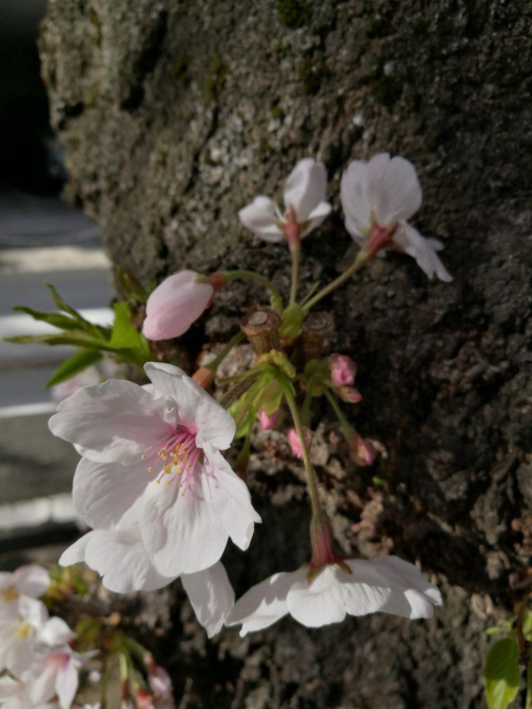 HUAWEI P9で撮った桜2