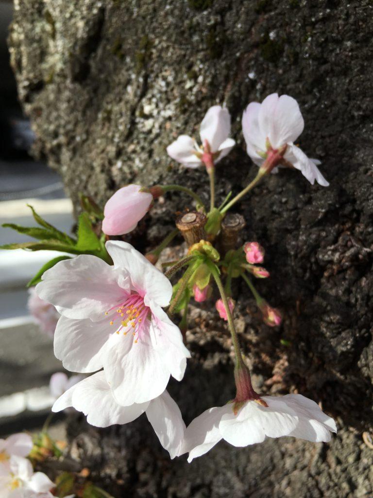 iPhone6sで撮った桜